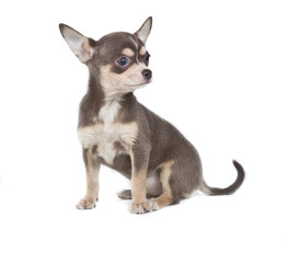 Chocolate and white Chihuahua puppy, 8 weeks old, standing in fr