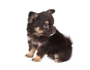 Spitz puppy in front of white background . Pomeranian dog isolat
