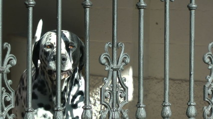Dalmatian Dog Barking