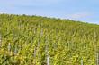 Junge Weinstöcke