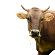 Fototapeten,säugetier,isoliert,weiß,kühe
