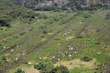 paesaggio con mucche, maremma