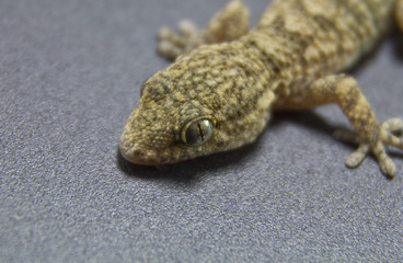 gecko on a dark background