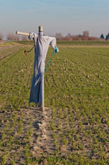 Scarecrow in a Dutch field