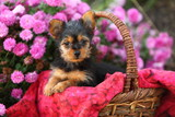 Fluffy Puppy in Basket