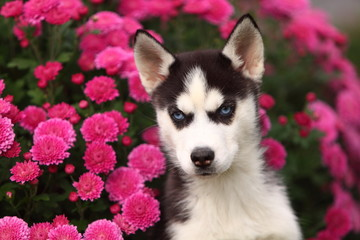 Siberian Husky in Front of Mums