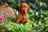 Irish Setter Sitting in Ivy