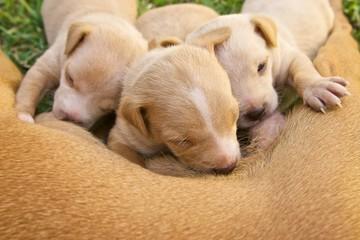 litter of three cute puppie feeding on mother's milk