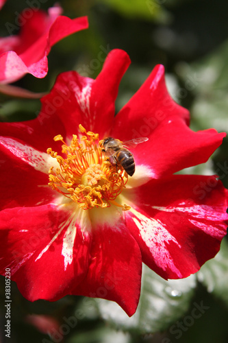 Honey bees gathering pollen and pollenating flowers