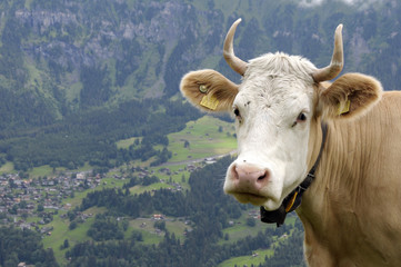 Swiss cow with village of Wengen in background