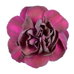 Dark Purple Carnation Flower Isolated on White