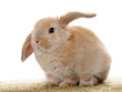 Cute little rabbit on white background