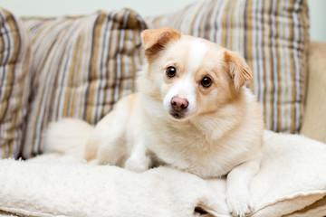 Dog on a sofa looking stright forward