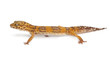 Albino Orange Leopard gecko, Eublepharis macularius