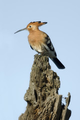 Hoopoe, Upupa epops, in Serengeti National Park, Tanzania