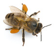Western honey bee or European honey bee, Apis mellifera