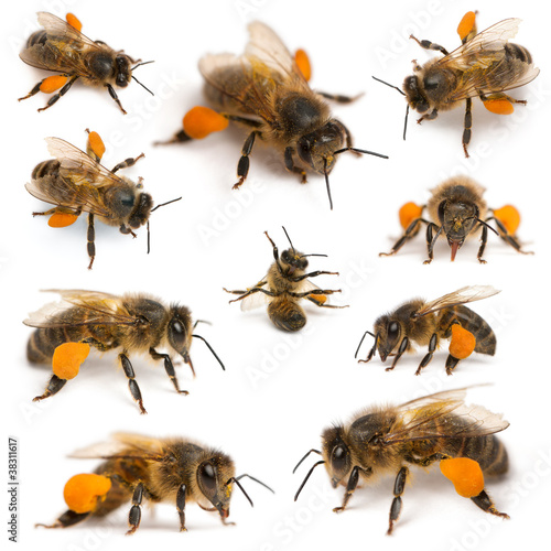 Papiers peints Porter Composition of Western honey bees or European honey bees