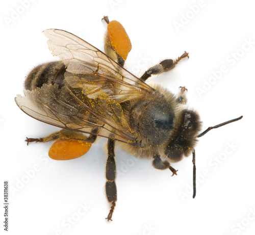 Foto op Canvas Bee Western honey bee or European honey bee, Apis mellifera