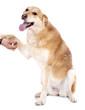 chien croisé qui donne la patte