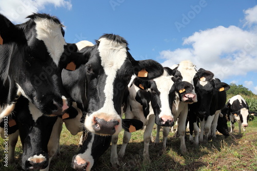 Line Of Black And White Holstein Dairy Cows