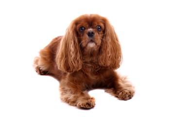 Hund Cavalier King Charles Spaniel liegend