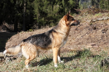 Alert Young Alsation or German Shepherd Dog