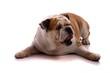 liegender Hund englische Bulldogge
