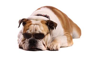 Hund Bulldogge mit Sonnenbrille