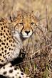 Cheetah in the Okavango Delta, Botswana