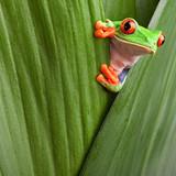 Fototapeta kostaryka - ukrywanie - Gady/Płaz