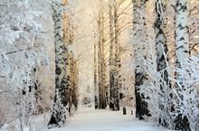 "Постер, картина, фотообои ""winter birch woods in morning light"""
