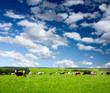 cows 2(10).jpg