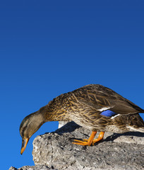 Female Mallard Duck of stone and blue sky background