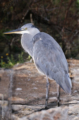 Grey heron standing on the ground below a tamarisk tree