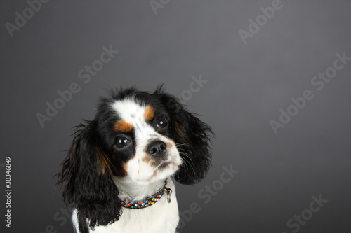 Tri colored Cavalier King Charles Spaniel with Jewelled collar