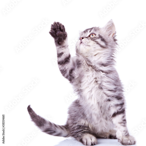 tabby cat reaching for something