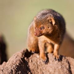 Dwarf mongoose in the Serengeti National Park, Tanzania