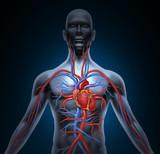 Human Heart Circulation