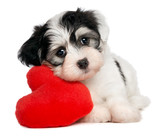 Fototapety Lover Valentine Havanese puppy with a red heart