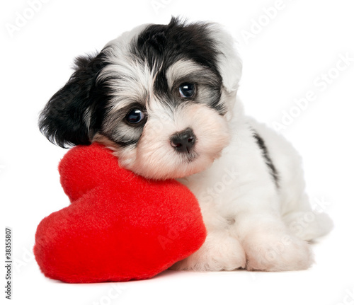 Lover Valentine Havanese puppy with a red heart