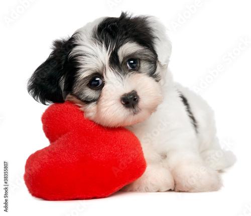 Kochanek Valentine Havanese puppy z czerwonym sercem