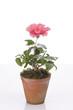 Hibiskus flower in a pot
