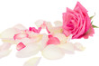 Pink rose with petals isolated on white