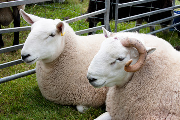 pair of sheep at agricultural show