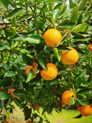 Ripe Oranges on Tree in Florida