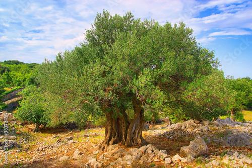 In de dag Olijfboom Olivenbaum Stamm - olive tree trunk 08