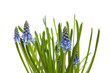 blue grape hyacinth in closeup over white background