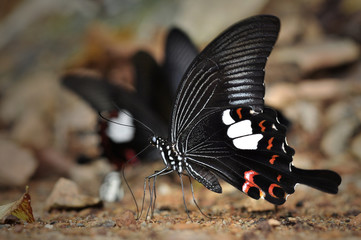 Black and White Helen butterfly fromThailand background