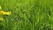 dandelions on a green field