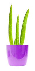 young aloe vera plant isolated on white